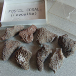 Fossil Coral favosite x8 specimens